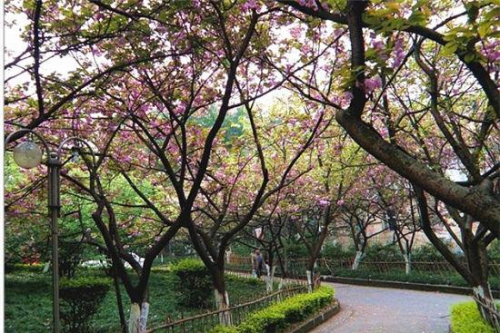 重庆看樱花的地方