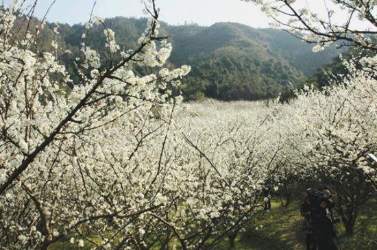 山坡上,一树树开满了洁白的李花,那里便成了一个让人惊心动魄的花海