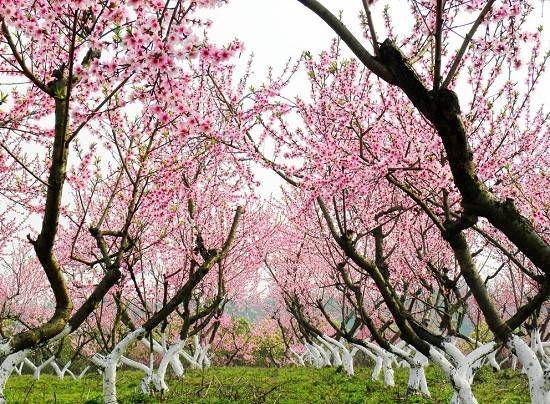 梦到桃花盛开又下雪
