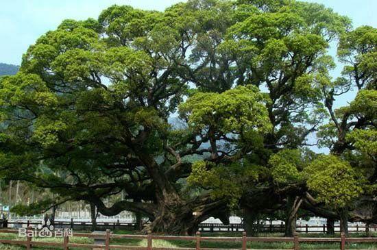 茂密的榕树像什么