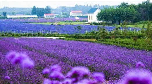 紫缘香草园园景