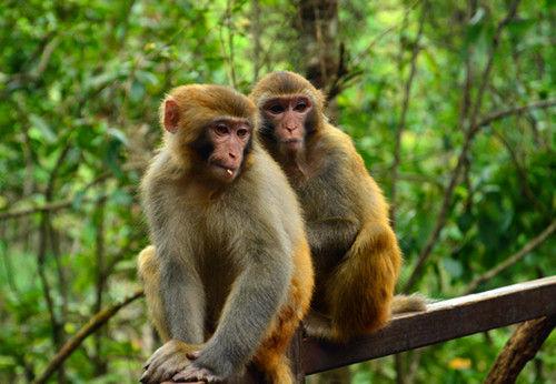 中国猴子种类_猴子