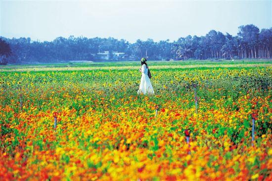 万宁市永范村花海基地成为乡村旅游新景点。 本报记者 张杰 摄