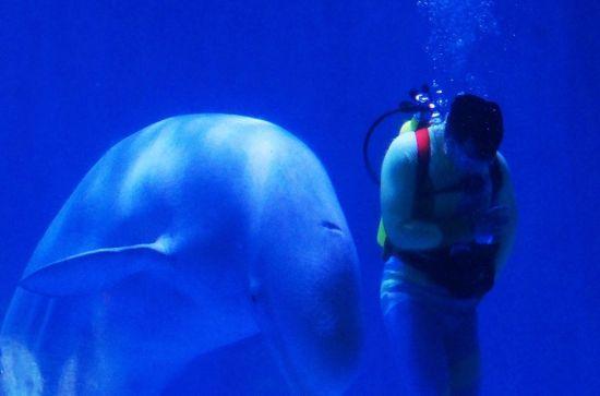 新浪旅游配图:白鲸表演 图片来源:@嘉美猫