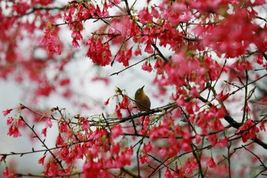 停落在樱花树枝头上的鸟 图:新浪博主/老骆驼