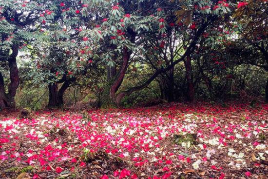 百里杜鹃最美时 尽是落花铺满地
