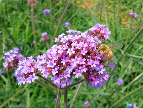 紫顶龙芽花