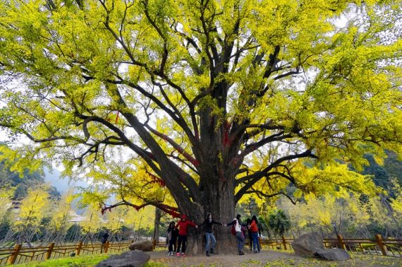 古银杏树-大洪山古银杏-抓住深秋的尾巴 开启随州赏叶之旅
