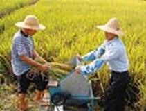 唐山胭脂稻