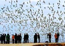 丹东鸭绿江口国际湿地观鸟节(图)