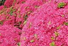 春季各地赏花攻略:杜鹃花