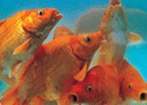 荷包红鲤鱼