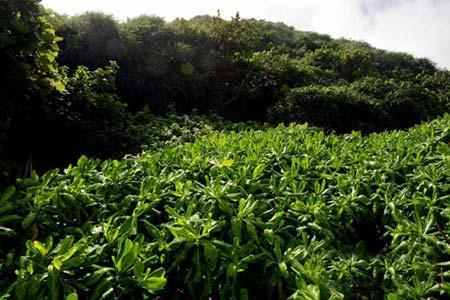 海棠湾的植被