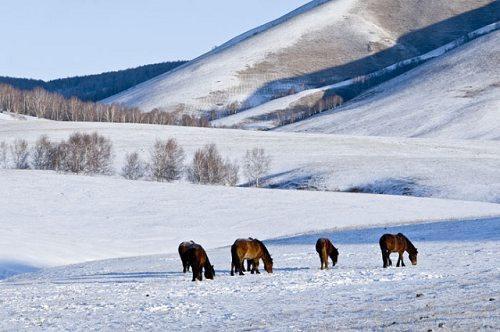 远处的雪景,近处的骏马,更显塞罕坝独到的美