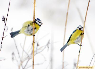 22、1月5日,白俄罗斯首都明斯克附近,两只蓝冠山雀站在干草枝上。当地的气温达到零下17度。
