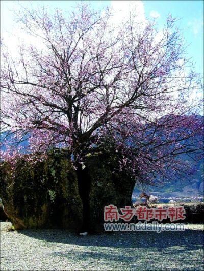 四月的林芝,正是桃花纷飞的时节。