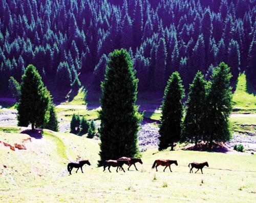 在天山北坡,雪岭云杉林分布于海拔1500米―――2800米的中低山和亚高山,构成了断断续续连绵千里的山地森林垂直带。在垂直带内森林与山地草甸、草原、牧场交错分布,景致动人