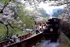 阿里山:台湾有个神木的故乡