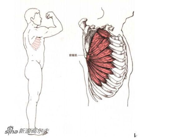 图1-3 前锯肌解剖