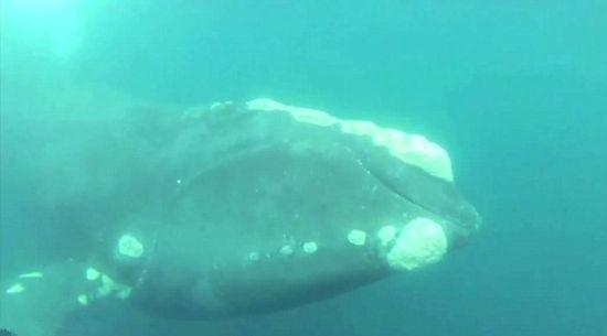 【环球网综合报道】据英国《每日邮报》7月16日报道,美国一位名为阿德里安• 科拉普雷特(Adrian Colaprete)的渔夫出海捕鱼时,发现一条鲸鱼被捕鱼装置困住。阿德里安随后便舍命跳入海中,割断缠绕在鲸鱼身上的粗绳,成功帮它重归海洋。   据报道,获救鲸鱼为珍稀的露脊鲸,自19世纪鲸鱼大捕杀以来,这种鲸鱼极速递减。美国国家海洋和大气管理局的数据显示,目前世上仅有400头露脊鲸存活。同行出海捕鱼的另一位伙伴帕特称,当天,大约在驶离维吉利亚海岸50英里后,他第一个发现了被困的鲸鱼,当时喜