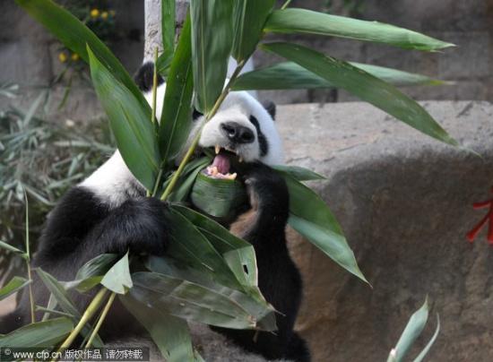 新浪体育讯 北京2010年11月12日16时,福州,中央电视台的电视直播车进驻广州亚运会国内唯一的分会场福州熊猫世界,北京亚运会吉祥物盼盼原型巴斯通过镜头与广州亚运会相约,祝福广州亚运会成功举办。 图为北京亚运会吉祥物原型熊猫巴斯助兴。